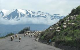 Till trots för alla stängsel stötte vi ibland på betande fårhjordar. Här med berget Ida som fond.