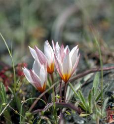 Tulipa cretica finns endast på Kreta