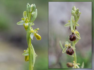 Ophrys spegodes subsp. cretensis färglös form till vänster och den normala till höger.