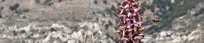 Jättenycklar, Himantoglossum robertianum med tilltänk pollinatör