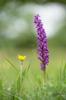 Orchis mascula subsp. mascula, Kinnekulle (Se.) 2017-05-29