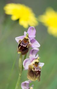 Ophrys helderichii x O. tentherdinifera ssp.