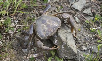 The partly land living crab Potamon potamos