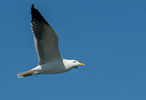Havstrut / Great black-backed gull / Larus marinus
