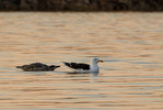 Havstrut / Great black-backed gull / Larus marinus, med årsunge / with juv.