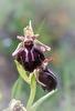Ophrys spruneri subsp. grigoriana, Saktouria, Crete 2017-04-10
