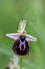 Ophrys spruneri subsp. grigoriana, Grigoria, Crete 2017-04-08