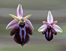 Ophrys spruneri subsp. grigoriana vs subsp. spruneri