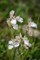 Anacamptis papilionacea subsp. alibertis var alba, Kreta 2017-04-10