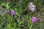 Orchis italica, Orchis simia och hybriden mellan dessa, Kreta 2017-04-08