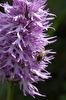 Orchis italica med pollinerande bi, Kreta 2017-04-09