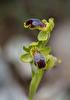 Ophrys cinereophila. Kreta 2017-04-05