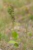 Epipactis helleborine subsp. orbicularis, Öland 2017-08-31