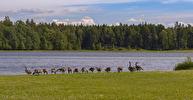 Kanadagås / Canada Goose/ Branta canadensis