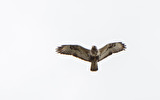 Fjällvråk / Rough-legged Buszzard Buteo lagopus