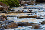 Strömstare / White-throated Dipper / Cinclus cinclus
