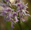 Ophrys italica x Neotinea tridentata, Sicily 2012-04-27