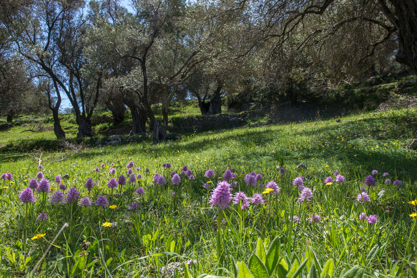 Borstnycklar Orchis italica, Kreta 2017-04-09