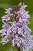 Dactylorhiza maculata subsp. maculata, Halleberg 2011-06-21