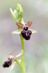 Ophrys ligustica, Saint-Vallier-de-Thiey 2011-05-18