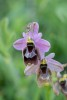 Ophrys bertolonii x neglecta, Gargano (It.) 2016-04-22