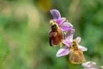 Ophrys lesbis, Lesbos (Gr.) 2018-04-10