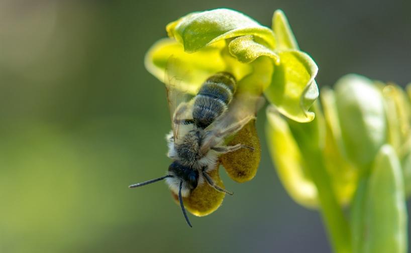 Ophrys pelinaea med pollinatör