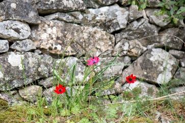 Anemone coronaria vid en av de många murade terrasser vid Loutra Headland