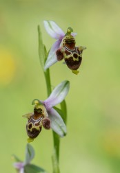 Ophrys dodecanensis
