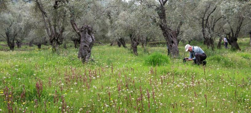 Olivlund vid Plati övrsållad med Serapias.