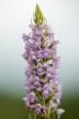 Gymnadenia conopsea x odoratissima Skogatorp (Se) 2018-06-19