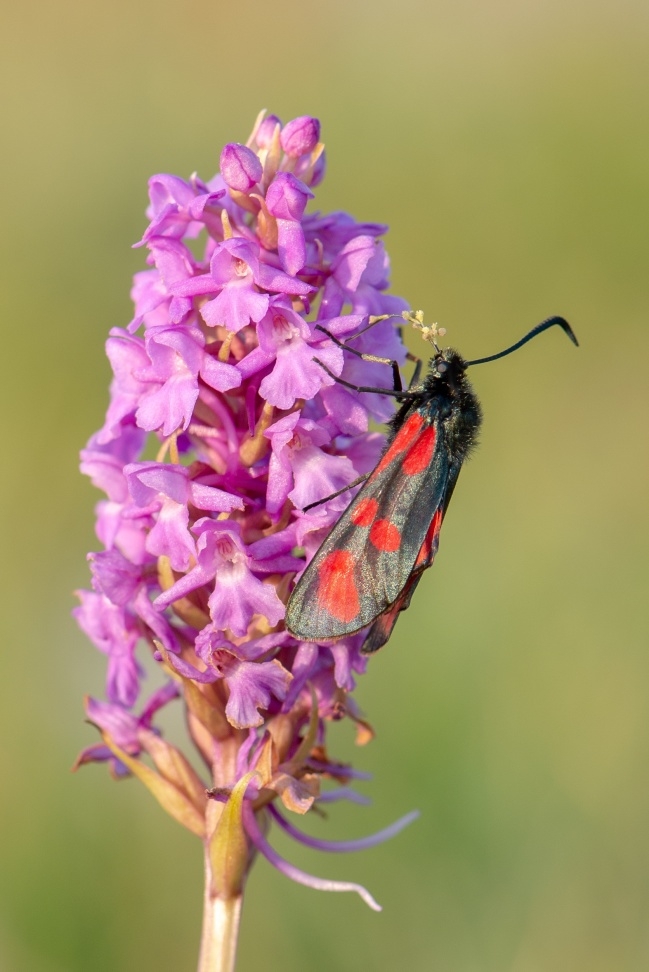 Brudsporre, Gymnadenia conopsea, pollineras av en bastardsvärmare.