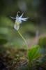 Calypso bulbosa var. alba, Dalarna 2017-06-11