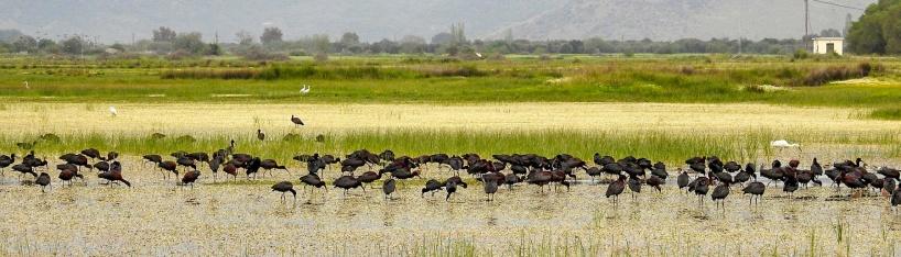 Ett 100-tal bronsibisar sökte föda i de grunda vattnen.