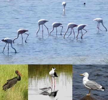 """Några av lördagens observationer:  Övre bilden visar flamingo så som man vanligtvis ser dessa, """"utan huvud"""". Under syns svart stork, styltlöpare med dammsnäppa och till höger en medelhavstrut."""