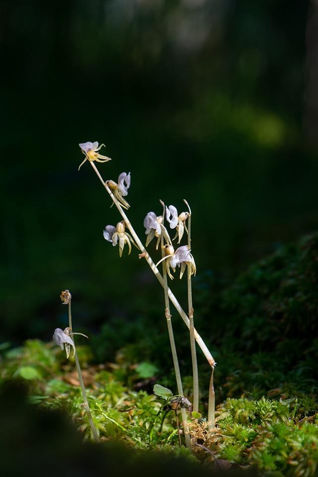 Skogsfru, Epipogium aphyllum, Öresjö 2018-07-25