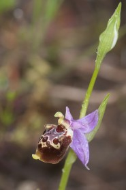 Ophrys calypsus
