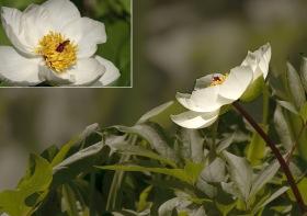 Paeonia rhodia