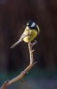 Talgoxe / Great Tit / Parus major