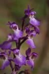 Orchis langei, Cevennes (Fr.) 2009-06-16