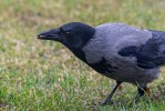 Kråka/Corvus cornix/Hooded Crow