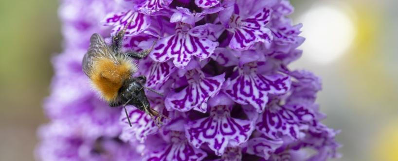 Humla pollinerar en Dactylorhiza-hybrid. Lägg märke til pollenklubborna som fatnat på huvudet och snabeln.
