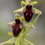 Ophrys promontorii, Abruzzo (It.) 2014-05-18