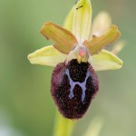 Ophrys promontorii, Gargano (It.) 2016-04-18
