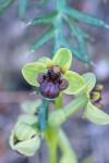 Ophrys bulbophyllum