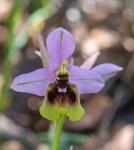 Ophrys tenthredinifera ssp. ficalhoana