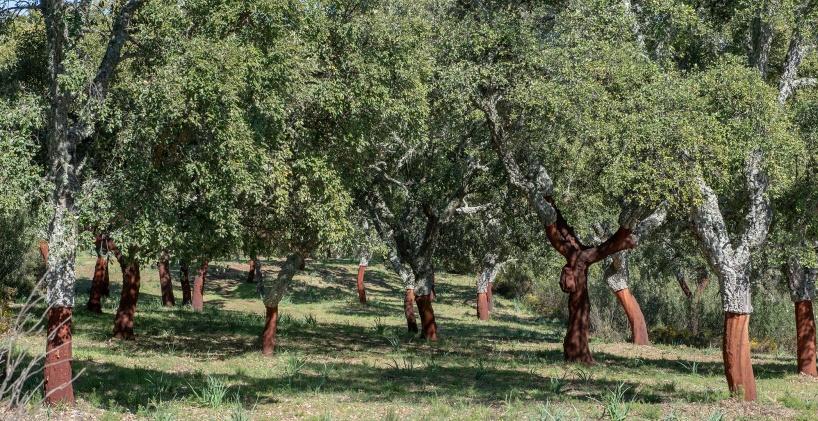 Korkekskog på väg mot Grazalema
