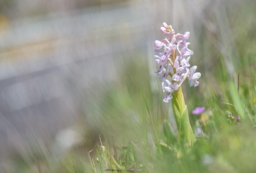 Orchis olbiensis, ljus färgvariant. Sierras de Las Nieves, Malaga (Spanien), 2019-04-12