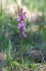 Orchis spitzelii subsp. spitzelii, Gotland (Se.) 2019-05-29