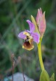 Ophrys tenthredinifera subsp. ficalhoana, Malaga (Sp.) 2019-04-13